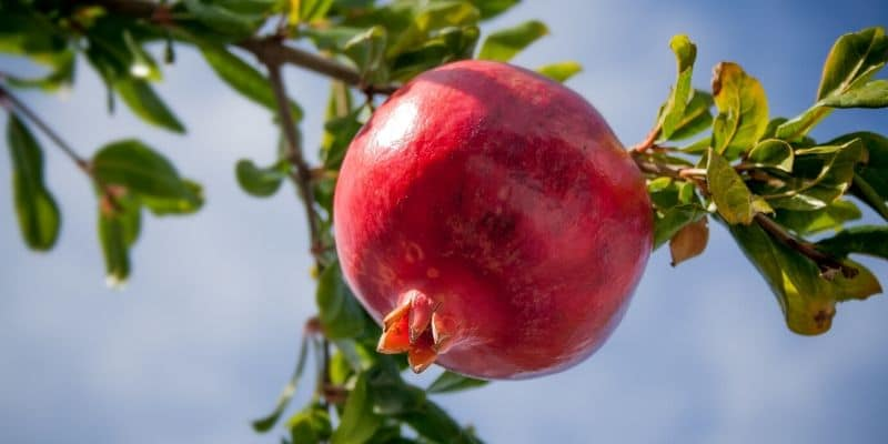 can you juice a pomegranate