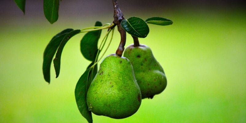 can you juice pears